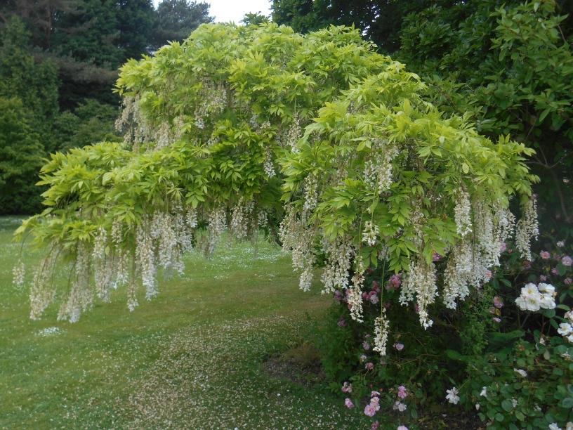 arbre a fleurs qui pendentnt